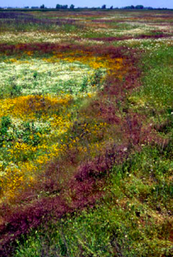 Rings of flowers indicate a dried out, seasonal vernal pool in the Sacramento National Wildlife Refuge