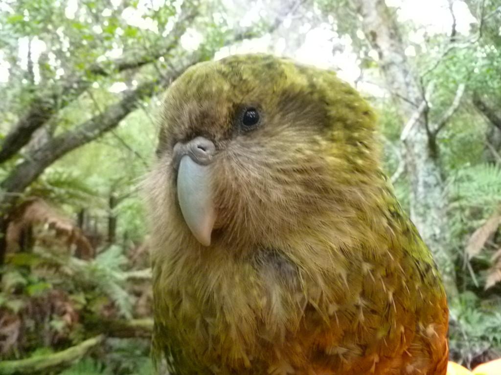Kakapo Jasira